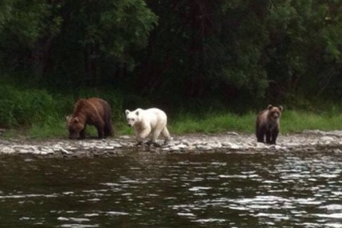 На Камчатке увидели белого бурого медведя