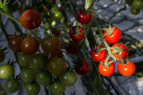 Ткачев не исключил возобновления поставок томатов из Турции